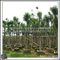 福建绿大地供应|公路绿化苗行道景观用途水榕树水翁花