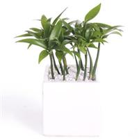 【竹柏】居室绿化植物、养眼盆栽
