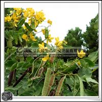 福建绿大地供应|黄花槐胸径5公分行道树移植苗小苗