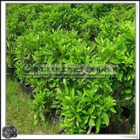 福建绿大地供应|绿化苗木灌木非洲茉莉球