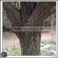 福建绿大地供应|红花丹桂|丹桂树|桂花树|10年树龄