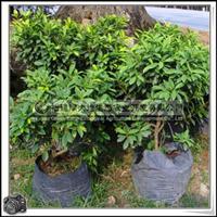 福建绿大地供应|观叶植物罗汉松科竹柏优质袋苗