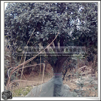 福建绿大地供应|桂花|丹桂|红花丹桂|胸径24cm|常绿灌木