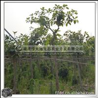福建绿大地供应|花叶高山榕|喜高温多湿气候|常绿|优质绿化苗