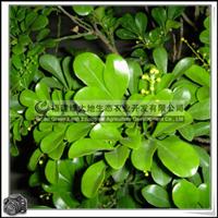 福建绿大地供应|灌木楝科米兰黄色花