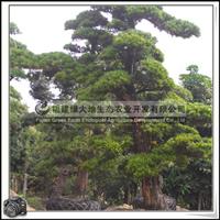 福建绿大地供应 罗汉松移植苗 大型 园林造景专用 罗汉松盆景