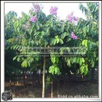福建绿大地供应|大叶紫薇行道树抗风植物