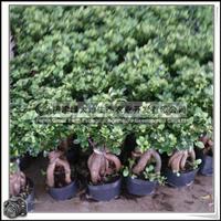 福建绿大地供应|室内小盆景|人参榕大量批发