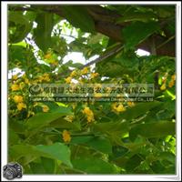 福建绿大地供应|印度紫檀落叶大园景树行道树