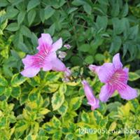 【苗圃】绿化苗木亚灌木紫云藤