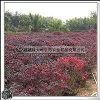 红花继木|常绿乔木|行道树|园林景观树