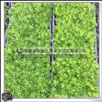 佛甲草|耐旱性极好|屋顶绿化植物|大量批发价格优惠
