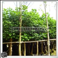 土刺桐|行道树|风景观赏树|园林景观用树|大量批发