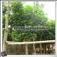 土刺桐|优质绿化树|绿化工程树|刺桐大乔木