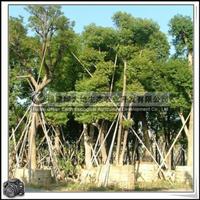 福建绿大地供应 独赏树樟科香樟胸径14-15公分