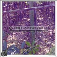 福建绿大地供应 庭院美化树种美丽异木棉开大红色花