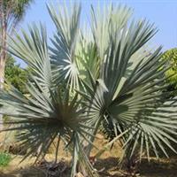 【霸王棕】公园绿化苗木、胸径28cm
