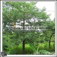 福建绿大地供应 美丽异木棉庭荫树工程