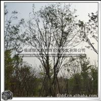 黄花风铃木 落叶乔木 优良行道树 庭院观赏树
