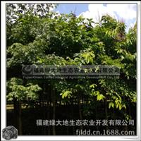 大花紫薇|庭园绿荫树|行道树|园林景观用树