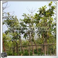 花叶高山榕|行道树|风景树|园林景观用树