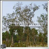 福建绿大地供应 黄花风铃木 株高4-6米 行道树 园林景观观赏树