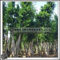 福建绿大地供应 乔木小叶榕胸径30-40公分