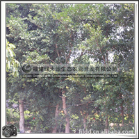 福建绿大地供应 小叶榕胸径10-30公分园林乔木