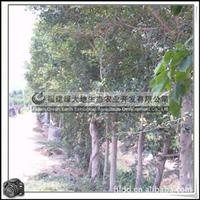 福建绿大地供应|胸径20公分以上小叶榕园林苗木