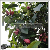 福建绿大地供应|绿化苗木灌木含笑红花