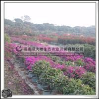 福建绿大地供应|九重葛叶子花|量大价格从优