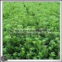 福建绿大地供应|绿化苗木灌木海桐球绿篱绿带