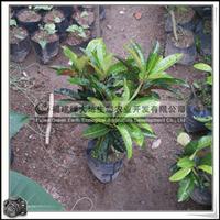 福建绿大地供应|园林绿化苗木常绿灌木室内观叶植物变叶木