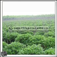 福建绿大地供应|绿化苗木灌木海桐球工程绿化