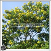 福建绿大地供应|黄花槐胸径6公分行道树移植苗小苗