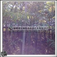 福建绿大地供应 公园美化苗木美丽异木棉降低噪音