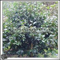 福建绿大地供应|绿化苗木灌木含笑庭园、小区、公园绿化