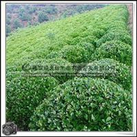 福建绿大地供应|绿化苗木灌木海桐球公园小区绿化
