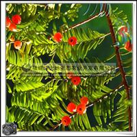 福建绿大地供应 室内观赏红豆杉科红豆杉观叶观果植物