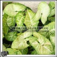 福建绿大地供应 合果芋常绿草本植物室内观叶植物除甲醛氨气