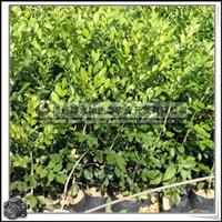 福建绿大地供应 绿化苗木灌木七里香H20-25公分