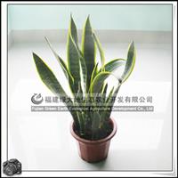 园林绿化苗木、多年生草本植物、室内观叶植物【金边虎尾兰】
