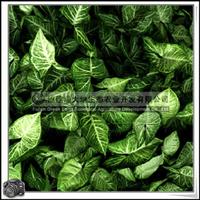 合果芋 园林绿化苗木 常绿草本植物 室内吊盆装饰 优质苗木