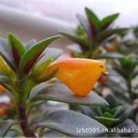 园林绿化苗木【金鱼草】多年生小盆栽室内观花植物