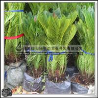 苏铁|绿化苗木|可做观赏盆栽|优质苗|大量批发