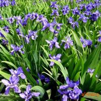供应园林绿化苗木【鸢尾】绿化苗工程苗地被植物