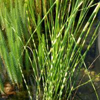 园林绿化苗木【花叶水葱】多年生宿根挺水草本植物