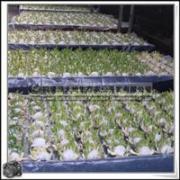 漳州水仙花|高级花卉|各种规格包装