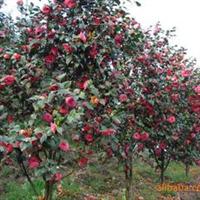 园林绿化苗木、常绿灌木、开花期长【茶花】