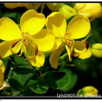 园林绿化苗木、行道树、花期较长【黄花槐】